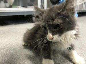 I1350506 Domestic Medium Hair Cat
