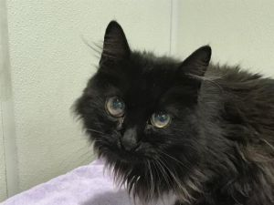 I1351505 Domestic Medium Hair Cat