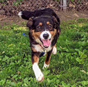 This handsome pup is Scotty He is 8-months-old and weighs 36 lbs We think he is a mini-Bernese Mou