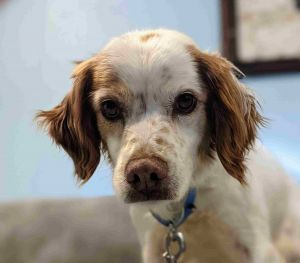 This beautiful girl is Goldy a 6-year-old Brittany spaniel looking for a loving home She weighs 32