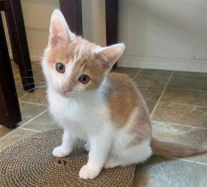 ELINA Domestic Short Hair Cat