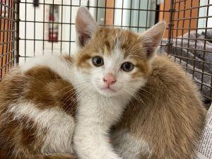 FERGUS Domestic Short Hair Cat