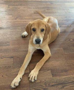 Uma (AL) English Coonhound Dog
