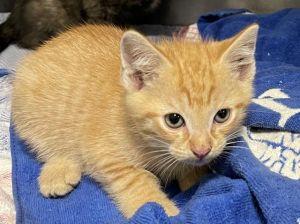 CARROT Domestic Short Hair Cat