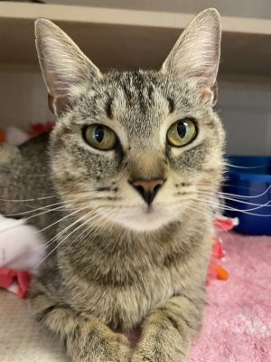 This gorgeous girl is Precious and she stands up to her name She is a one year old female Tabby