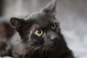 SELENA Domestic Medium Hair Cat