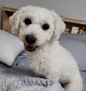 DOONG Bichon Frise Dog