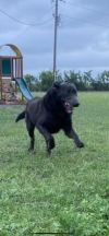 Bear - fostered in CT