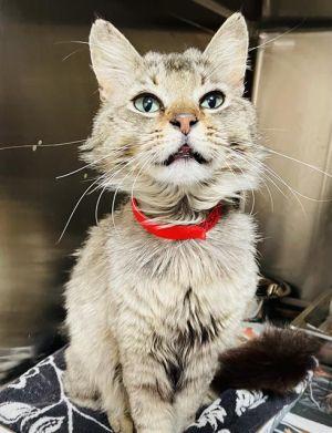 PATRON Domestic Short Hair Cat