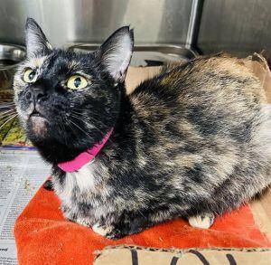 HELENA Domestic Short Hair Cat