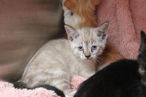 SAGE Domestic Short Hair Cat