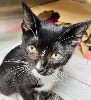 STINKY Domestic Short Hair Cat