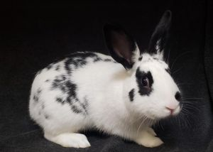 OREO American Rabbit