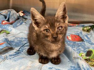 STEWIE Domestic Short Hair Cat