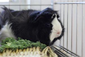 DUFUS Guinea Pig Small & Furry