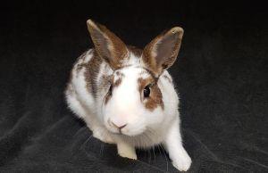 TWIX American Rabbit