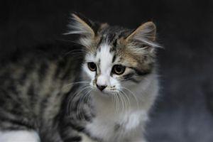 B TAB Domestic Medium Hair Cat