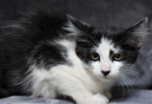 B DUB Domestic Medium Hair Cat