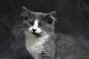 G DUB Domestic Medium Hair Cat