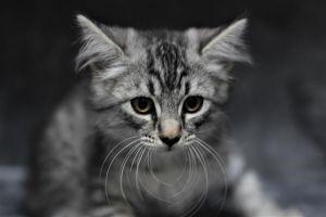 GT Domestic Medium Hair Cat