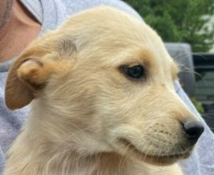 Ike is a twelve week-old Yellow Labrador Retriever mix rescued from Puerto Rico If interested in ad