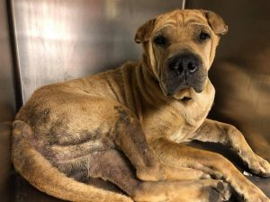 You can fill out an adoption application online on our official website Roberto GA is a male Shar