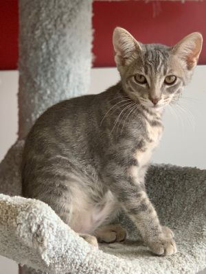 Atkins Domestic Short Hair Cat