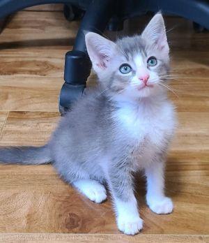 Milo Tabby Cat