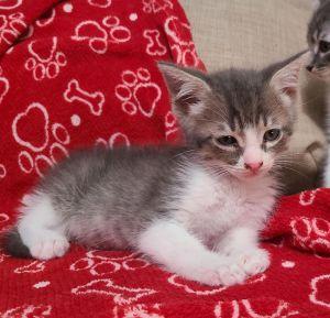 Morris Tabby Cat