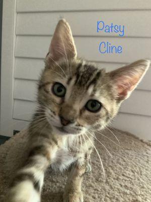 Patsy Cline Domestic Short Hair Cat