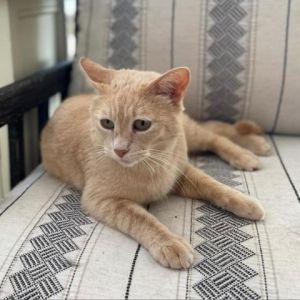 Nutmeg Domestic Short Hair Cat