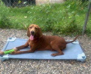 Remington available ~ 6/17 Redbone Coonhound Dog