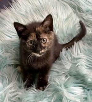 Fendi Domestic Short Hair Cat