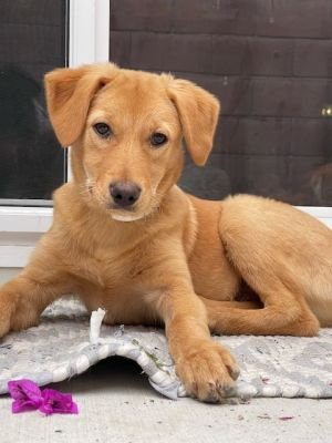 Pickles Golden Retriever Dog
