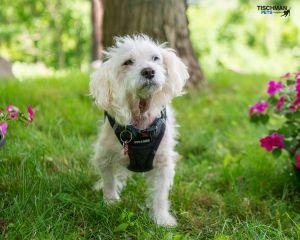 Simon Bichon Frise Dog