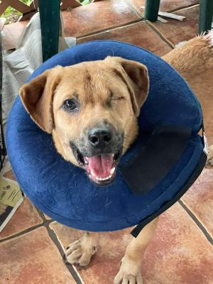 TO APPLY GO TO wwwLuckyDogRefugecom Meet Laz a LabSato mix from Puerto Rico He was found wand