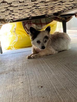 Domino Pomeranian Dog