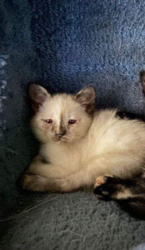 Missie Siamese Cat