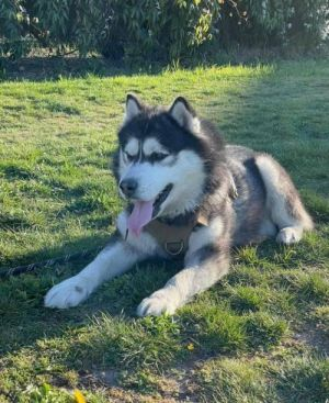 Meet handsome Blizzard who loves his people This adorable husky boy is 5 and you can meet him via