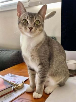 Hi there My name is Lullaby and I was recently rescued from the shelter Im a 1yr Old Abyssinian m