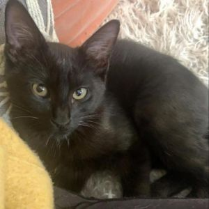Yuma is a sweet and playful boy who is in a foster home with many other kittens