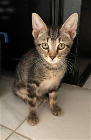RIO Domestic Short Hair Cat