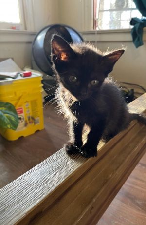 Marco Domestic Short Hair Cat