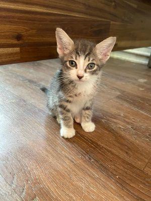 Carter Tabby Cat