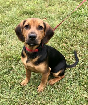 Meet Jake an absolutely adorable four-month-old hound puppy He currently weighs 30 lbs but we exp