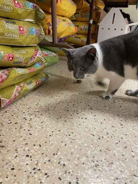 Bo, an adoptable Domestic Short Hair in Myerstown, PA_image-2