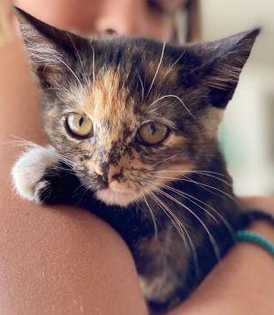 Gretel (bonded to Hansel) Domestic Short Hair Cat