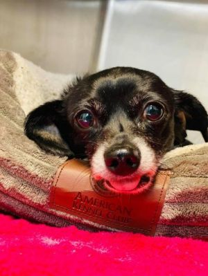 Rascal (GA] Chihuahua Dog