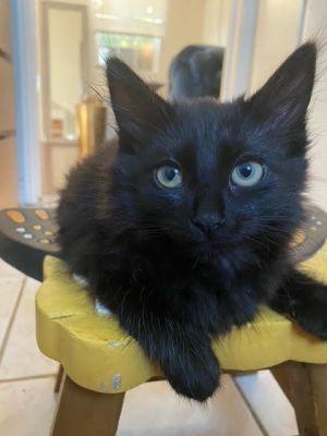 Bug Domestic Medium Hair Cat
