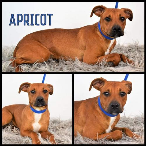 Apricot D5438 1
